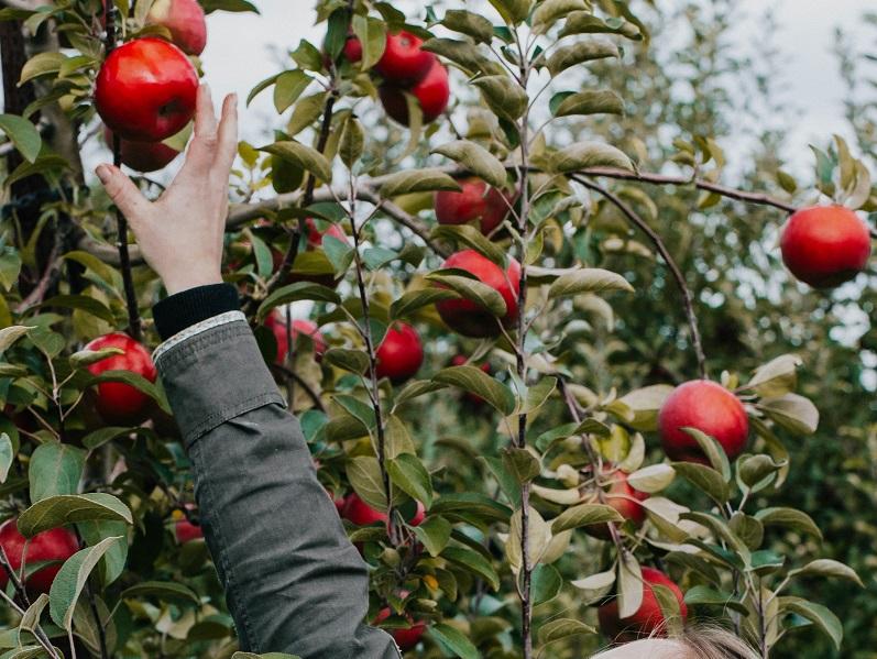 リンゴを手を伸ばして取っている人